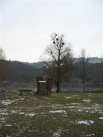 Silberweidenstümpfe in Margarethen
